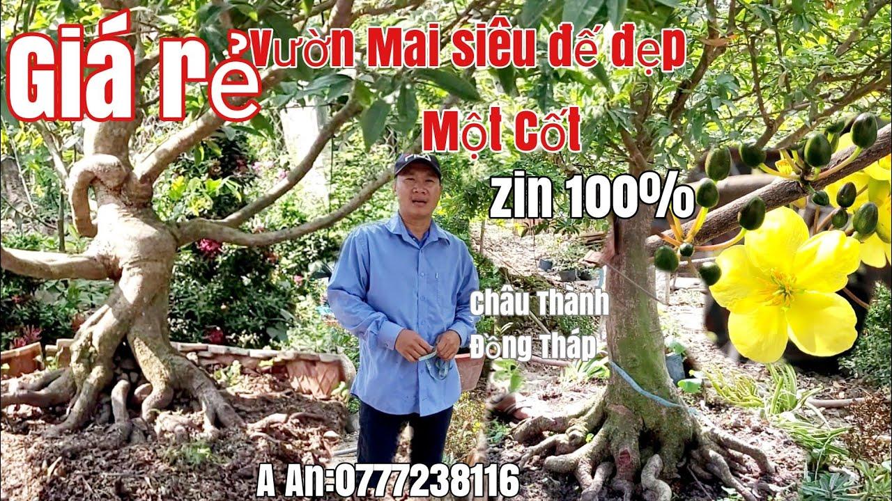 Vườn Mai đế đẹp một Cốt siêu đẹp giá rẻ gặp A An 0777238116 H Châu Thành Đồng Tháp