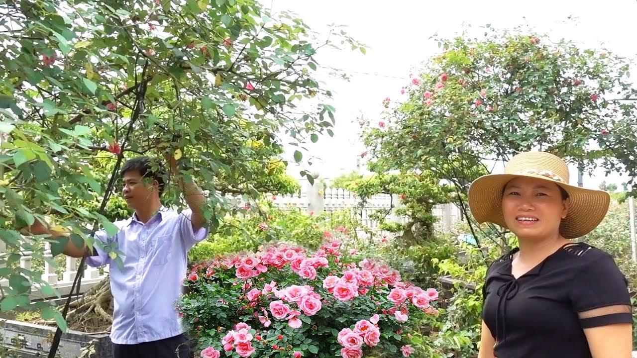 Vườn hồng cổ Sapa, long đẹp, ổi tàu sai quả ở làng có truyền thống về cây cảnh - roses and bonsai