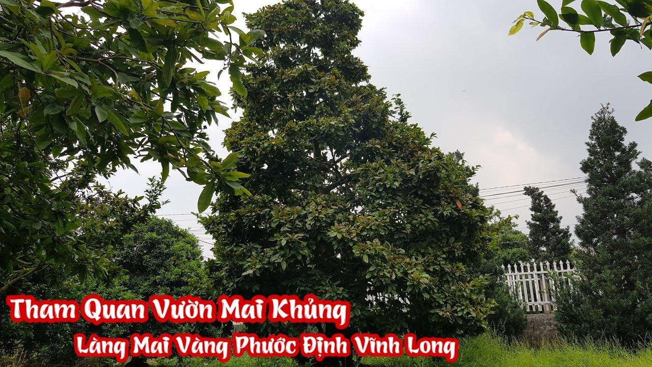 Vườn mai khủng của anh Út tại làng mai vàng Phước Định Long Hồ Vĩnh Long liên hệ 0336025198