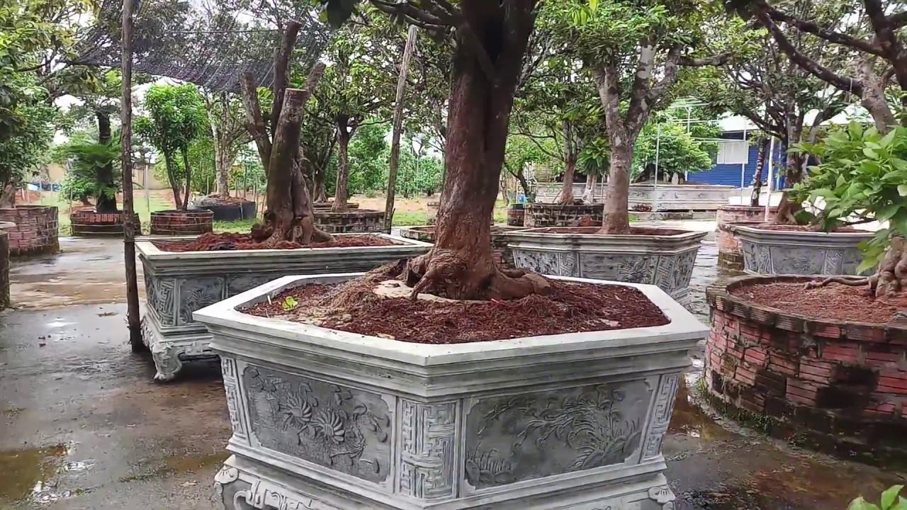 Vườn mai khủng và số cây khác đậm chất nghệ thuật tại quảng nam 01287774736 anh đường