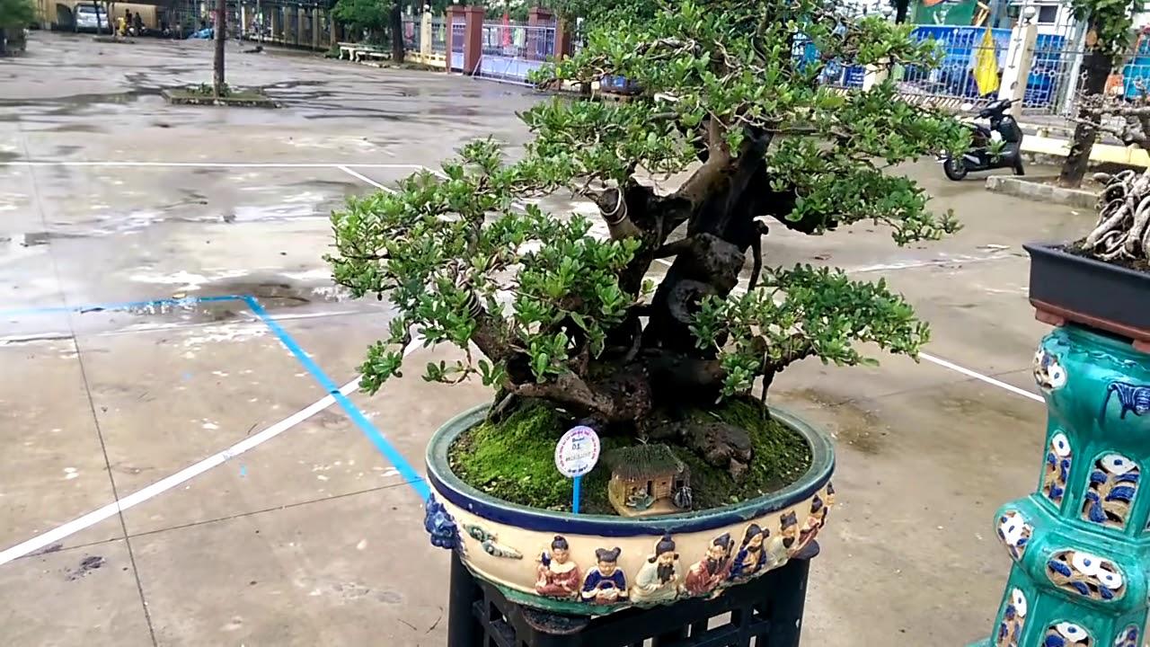 Xem cây sam nhiều tay và hàng cây vip - Bonsai Binh Dinh