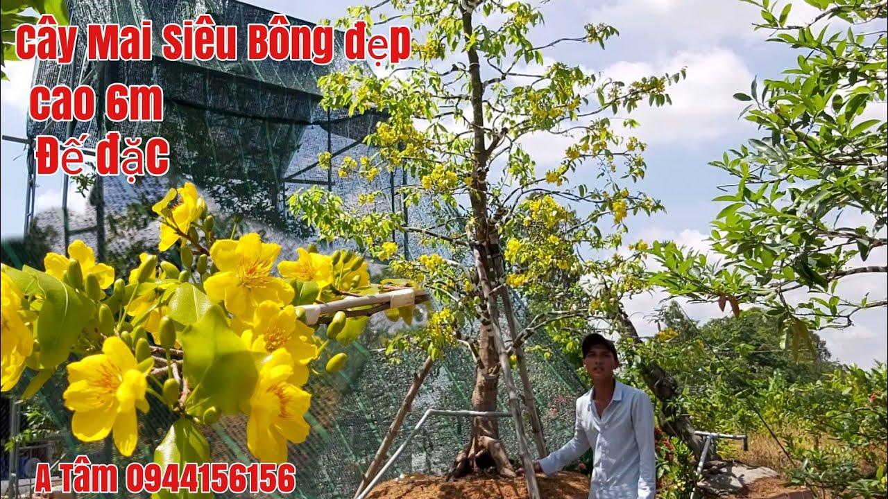 Xuất hiện Cây Mai siêu bông đẹp ,cai 6m một cốt củ đặc giá rẻ gặp A Tâm 0944156156 Đồng Tháp