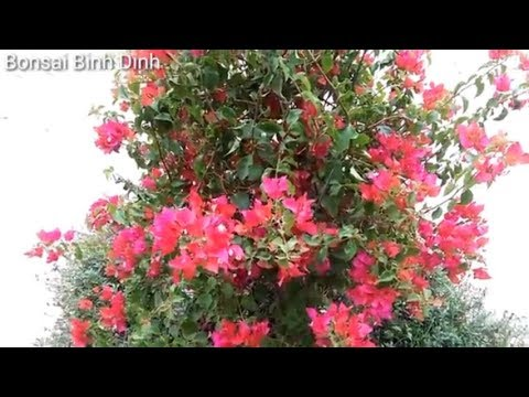 bougainvillea, HOA GIẤY CÓ MÀU LẠ - Bonsai Binh Dinh