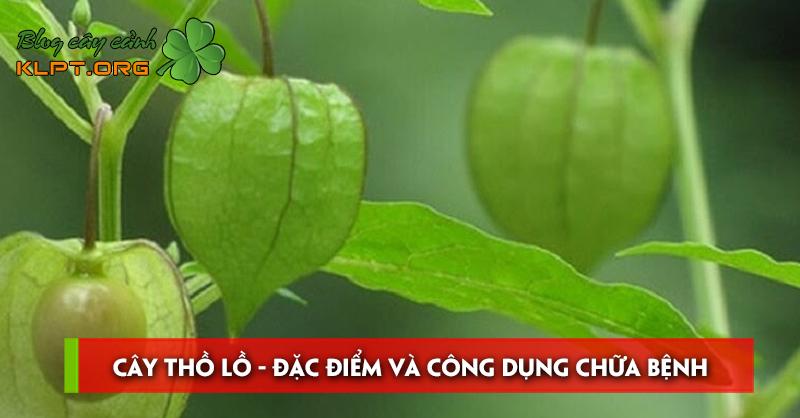 cay-tho-lo-dac-diem-va-cong-dung-chua-benh