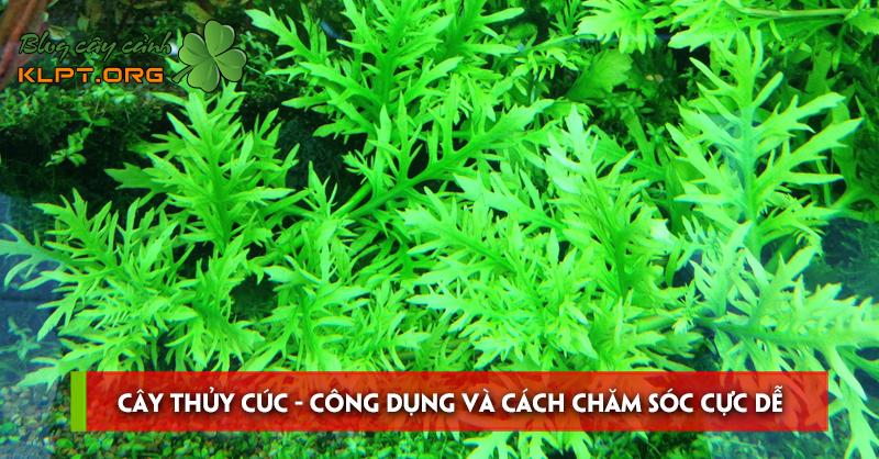 cay-thuy-cuc-cong-dung-va-cach-cham-soc-cuc-de