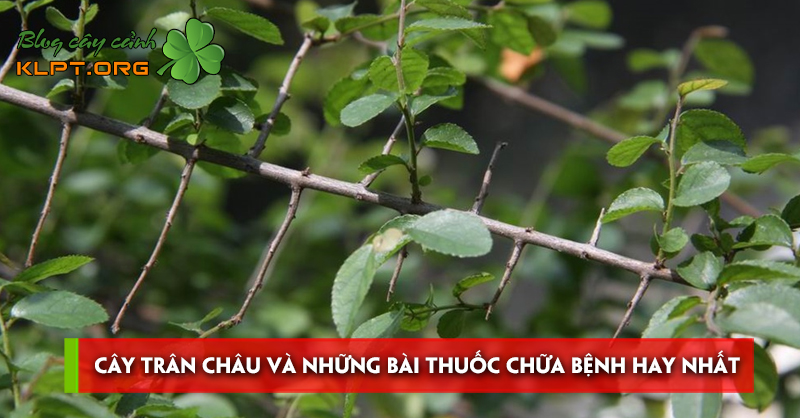 cay-tran-chau-va-nhung-bai-thuoc-chua-benh-hay-nhat
