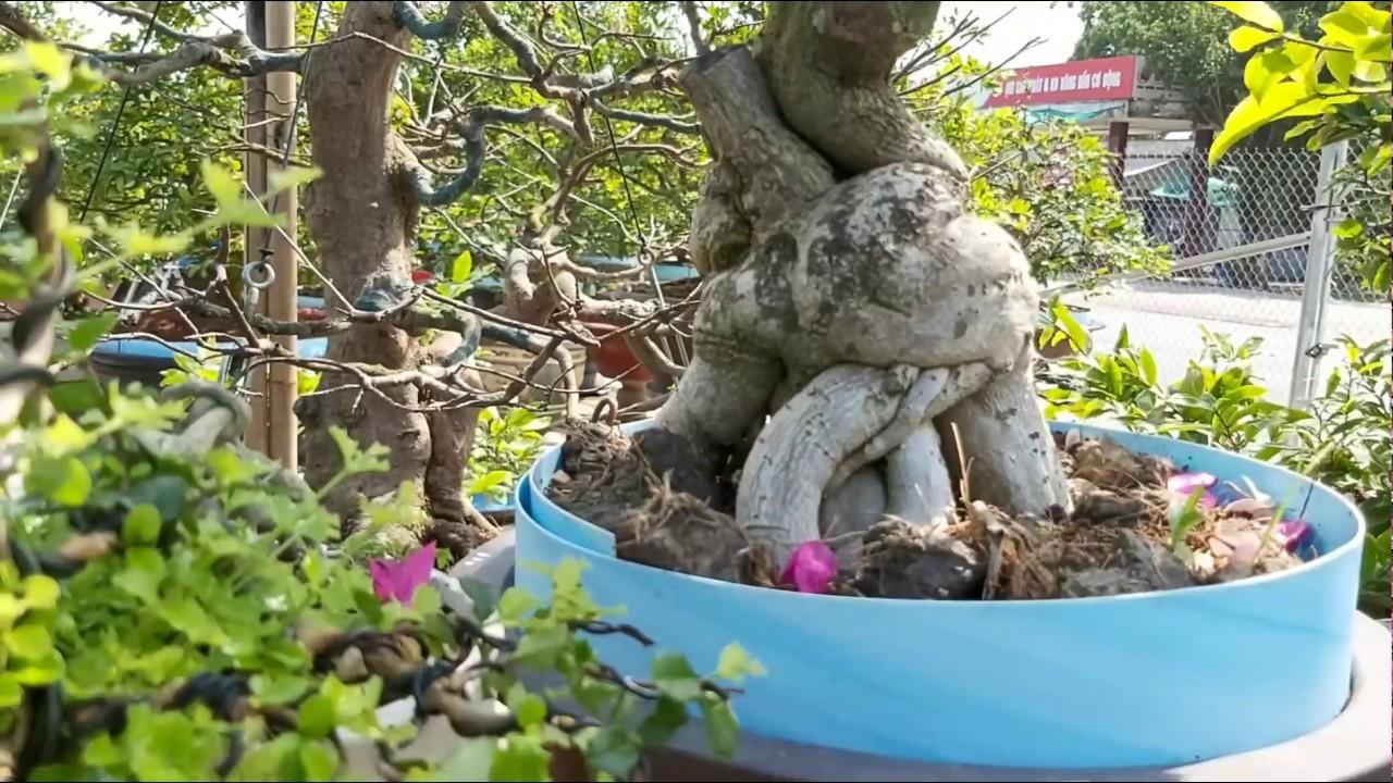 vườn Mai bon sai,mai xù, cây kiểng xã Bình Hòa huyện Châu Thành.AG