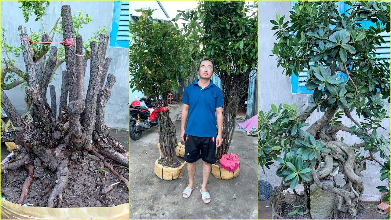 BG Mai Chiếu Thủy, Bông Trang, Nguyệt Quế, Cây da Nhật 15/10 📲 0364504945 Dũng