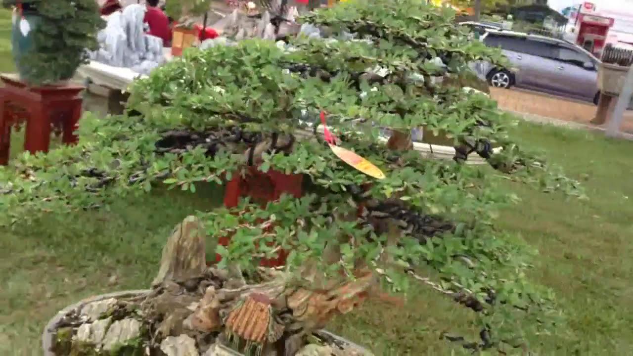 BONSAI BÌNH ĐỊNH 36  - một vài cây  đẹp