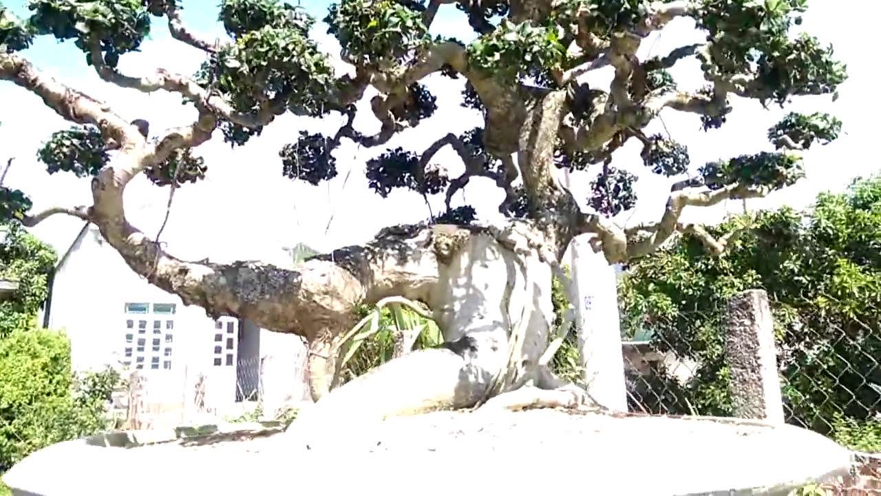BONSAI-Không thể tin nổi cây đẹp như thế này