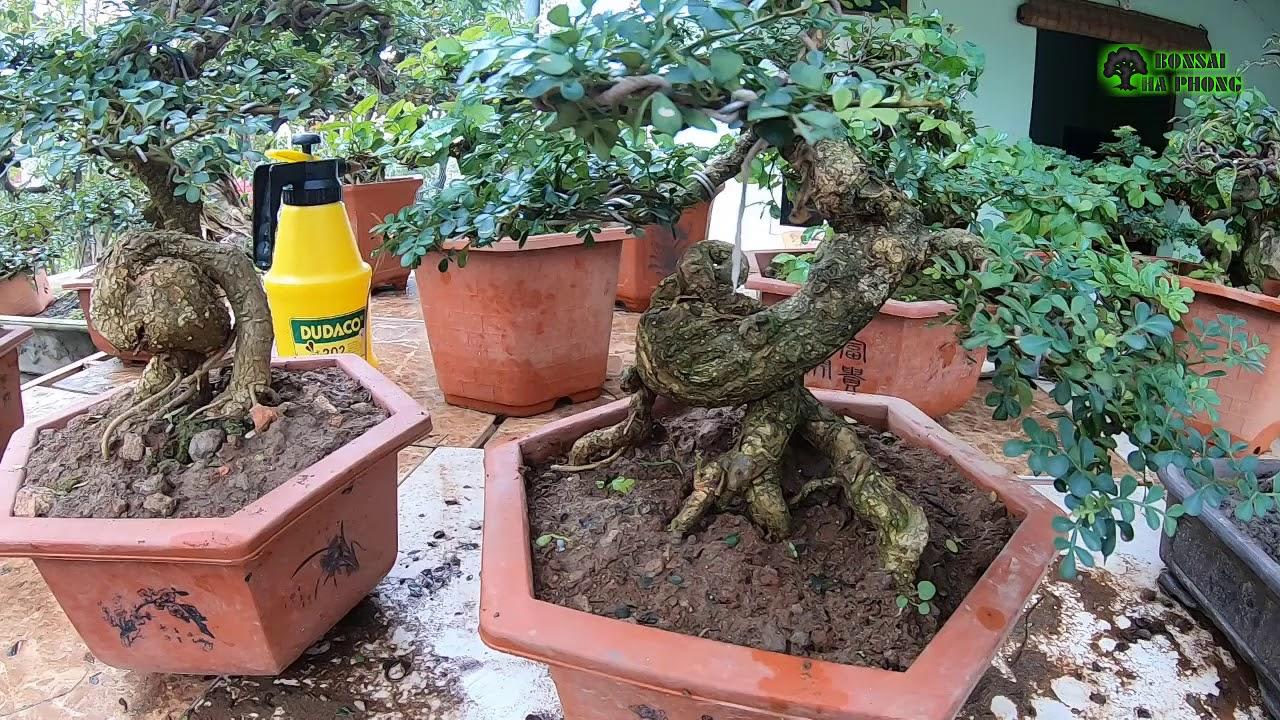 BShp-Hỏi giá tùng La Hán và sanh & bonsai mini cho anh em