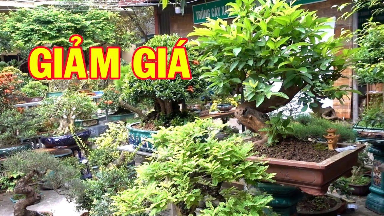 Báo giá ổi, sanh nam điền, mai chiếu thủy, khế, đơn, hải châu, linh sam có giảm giá. bonsai trees