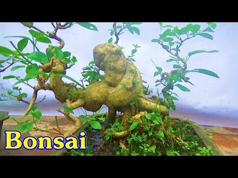 Beautiful Bonsai  : Sanh,sung, vọng cách, lộc vừng, ngày 18/4, ĐT: 0337496058