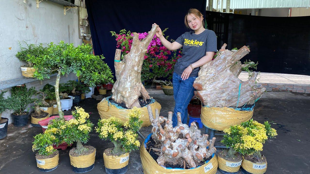 Bonsai 3 miền nhiều loại chào bán ngày 19-3 Thúy An