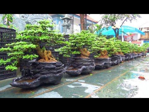 Bonsai CẦN THĂNG THUYỀN, ngày 26/4, ĐT: 0337496058