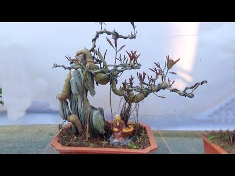 Bonsai Cần thăng, Vừng bám đá, duối nghệ thuật, ĐT: 0337496058, ngày 8/4