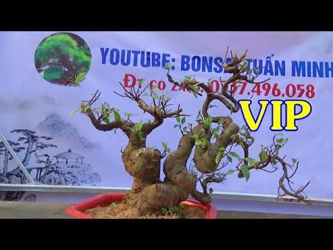 Bonsai SUNG VIP, lộc vừng đẹp, ĐT: 0337496058, ngày 20/2.