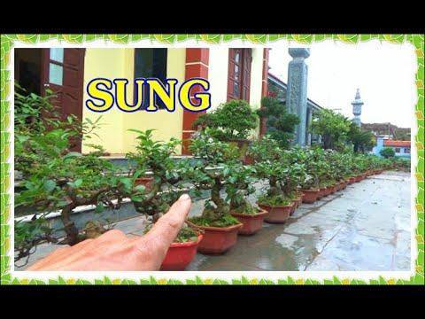 Bonsai SUNG dáng bệ đẹp, ngày 8/3, ĐT: 0337496058