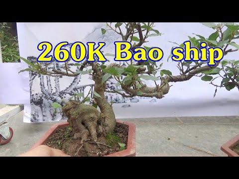Bonsai SUNG mini thân bệ nghệ thuật, ngày 7/3, ĐT: 0337496058