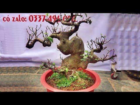 Bonsai SUNG tầm trung nghệ thuật, ngày 25/3 ĐT: 0337496058