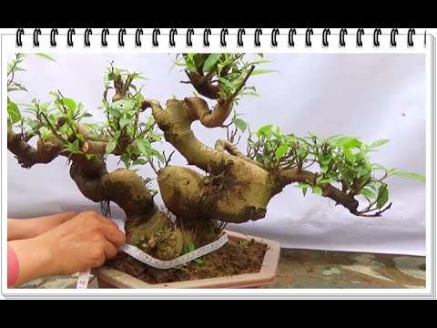 Bonsai SUNG, thân cốt nghệ thuật, ngày 10/4, ĐT: 0337496058