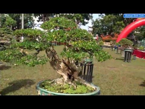 Bonsai Trees - Hoạt động thường ngày tại triển lãm cây cảnh - Bonsai Binh Dinh