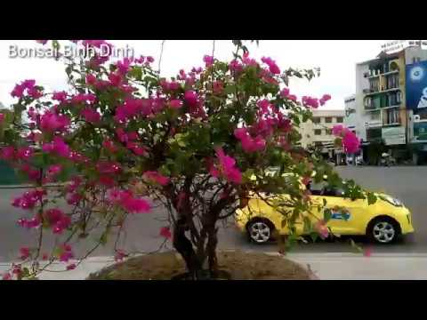 Buganvillia plant, vẻ đẹp HOA GIẤY - Bonsai Binh Dinh