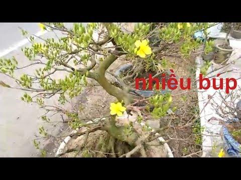 Búp mai dày quá - Mai Bình Định