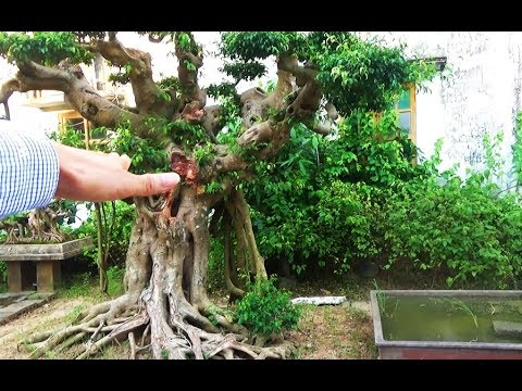 Cây dưới đất, giá vẫn trên trời, cây sanh khủng, cần hạ thấp độ cao.