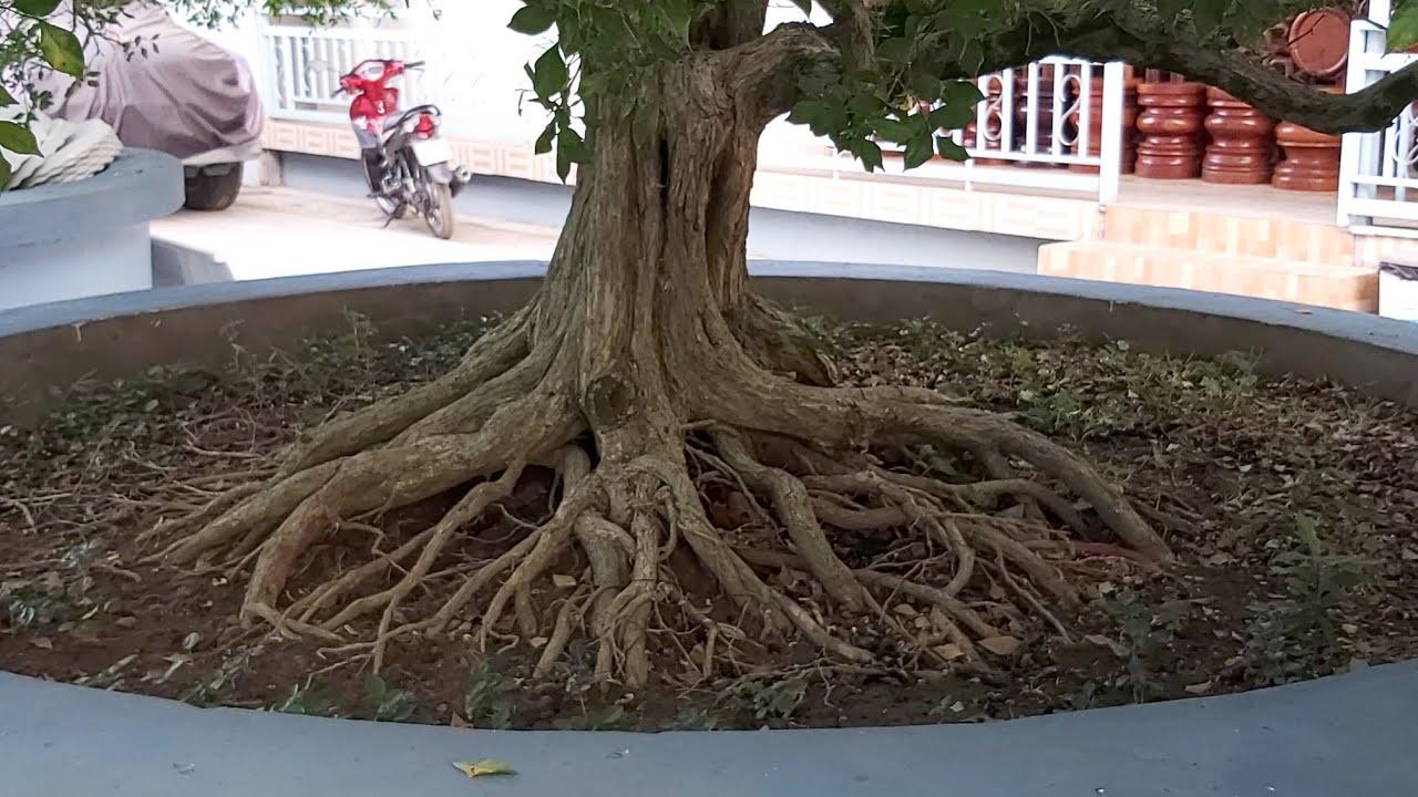 Cụ nguyệt quế cổ thụ  có bộ rễ khổng lồ đẹp nhất miền Tây.