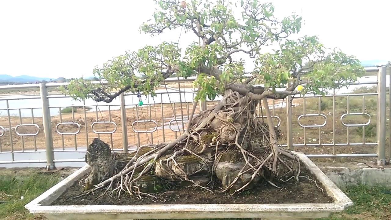 Dàn Sanh bỏ hoang tiếc quá - Bonsai Binh Dinh