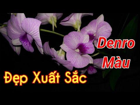 Denro Màu đẹp xuất sắc, mặt hoa cát - Bonsai Binh Dinh