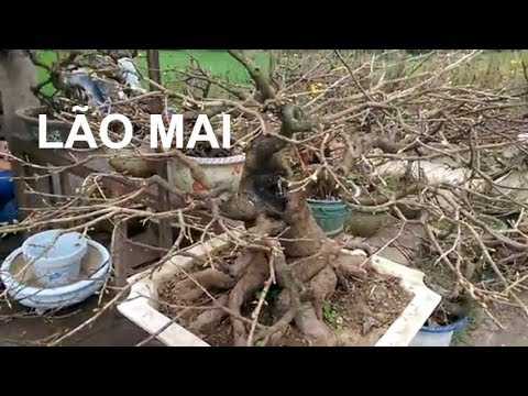 GẶP GỐC MAI LÃO - Bonsai Binh Dinh