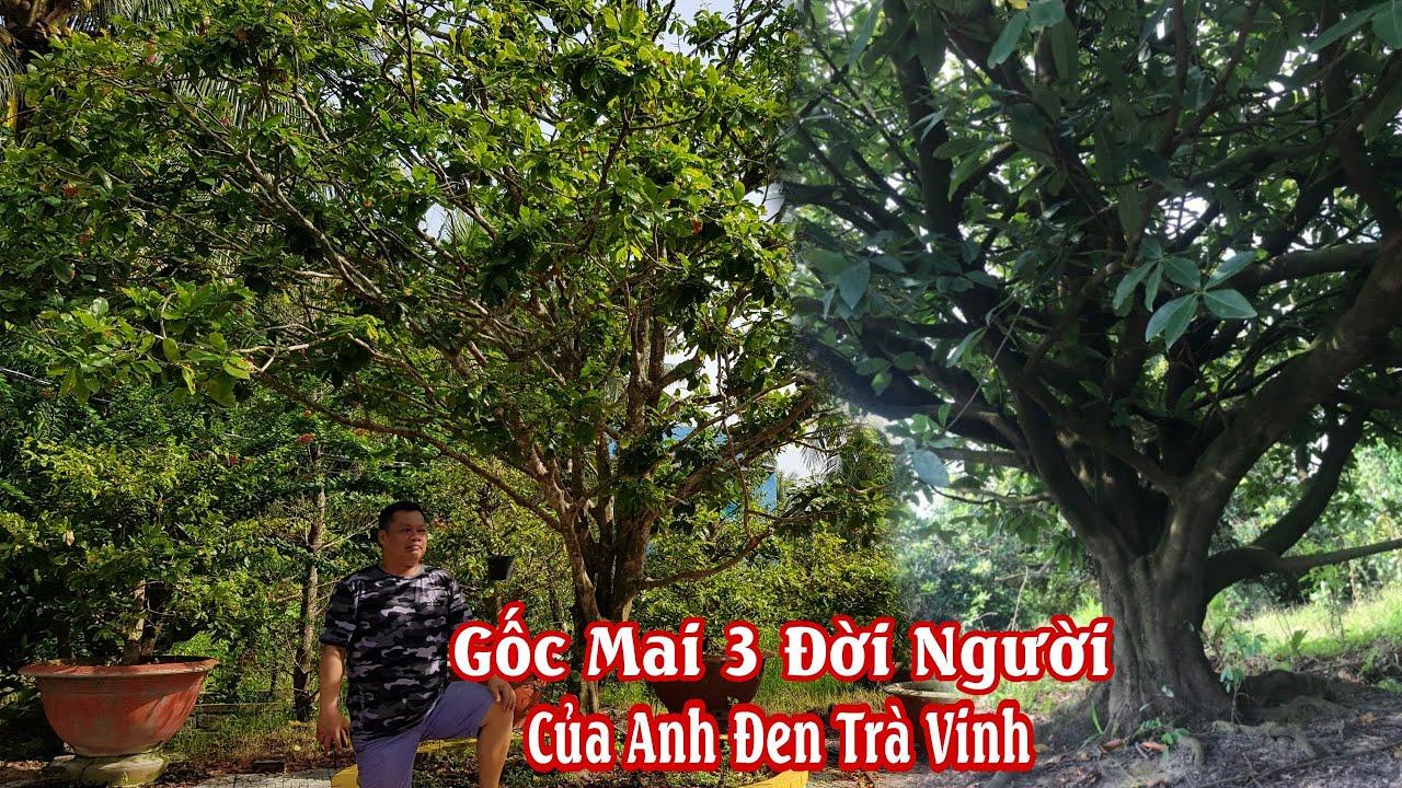 Gốc mai tàng thiên nhiên HƠI ĐẶC BIỆT của anh Đen Trà Vinh 0916758759