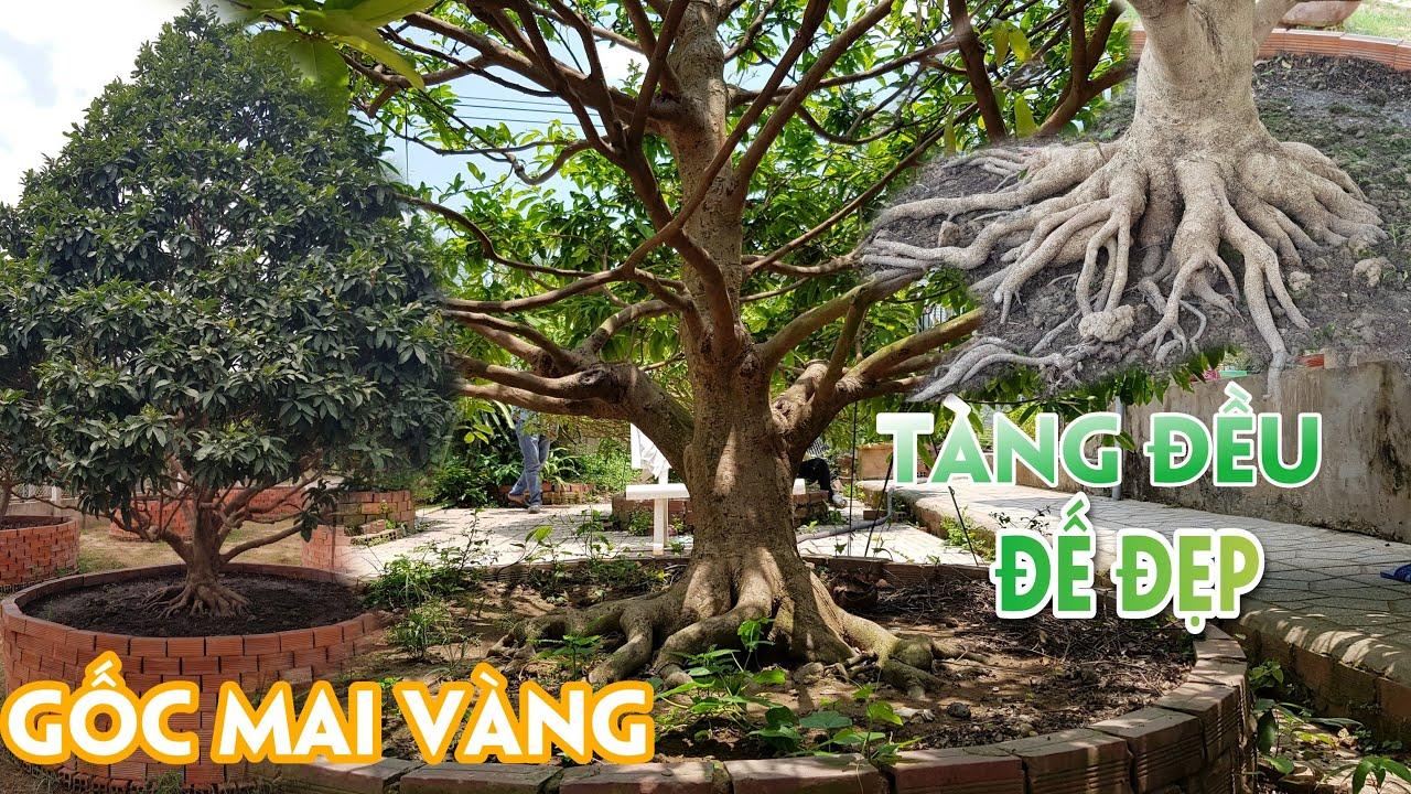 """Gốc mai vàng """" Không phải dạng vừa """" núp trong khu vườn ít ai biết đến ở Tiền Giang"""