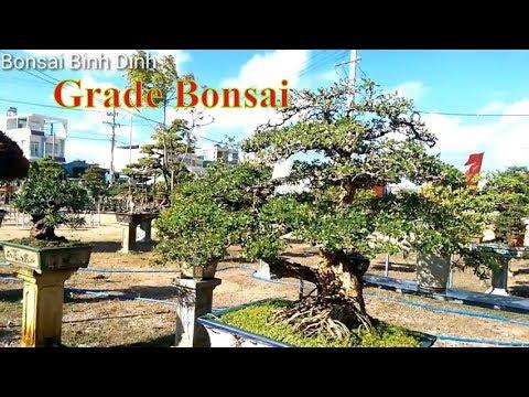 Grade Bonsai, Đẳng Cấp Sam BÌNH ĐỊNH  - Bonsai Binh Dinh