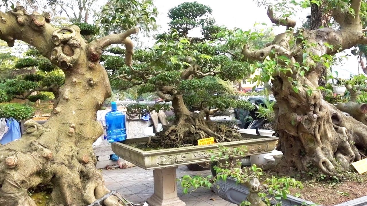 Ít tiền cũng có sanh Nam Điền khủng để chơi - Bonsai is not only beautiful but also cheap