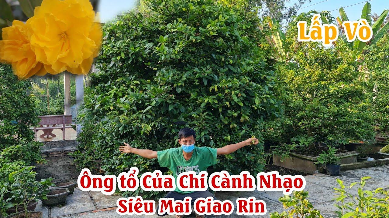 Lần đầu mới thấy GỐC MAI XÙ NU chi cành nhạo 30 năm ở Lấp Vò 0902402068