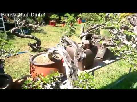 Lang thanh dạo xem cây Triển lãm An Nhơn - Bonsai Binh Dinh