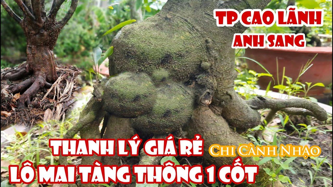 Lô mai tàng thông 1 cốt chi cành nhạo của anh Sang Cao Lãnh 0829011688