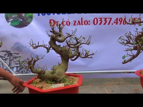Lô sung bonsai ngày 23/2, ĐT: 0337496058, Ship toàn quốc