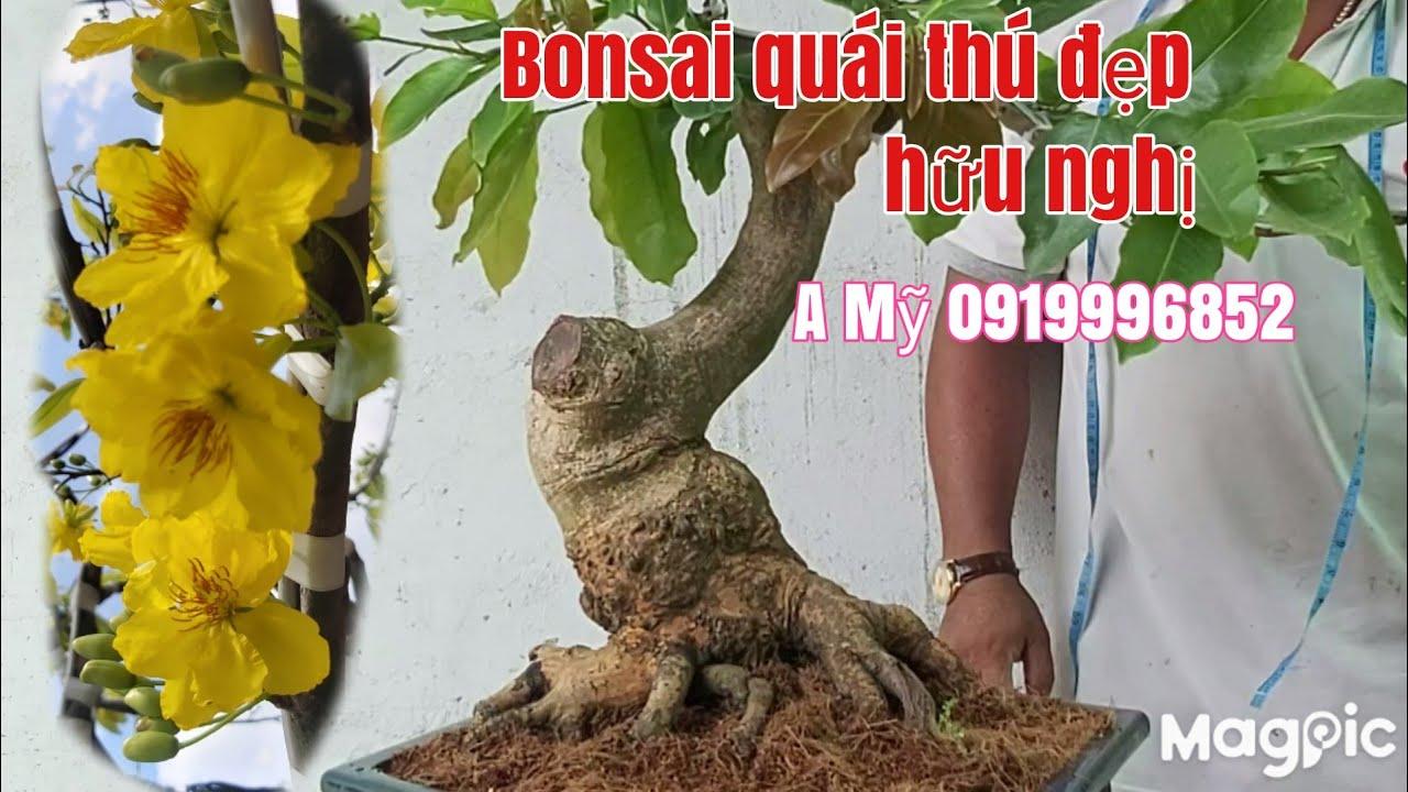 Mai Bonsai đế quái đẹp giá hợp lý gặp A Mỹ 0919996852 phú Tân AG
