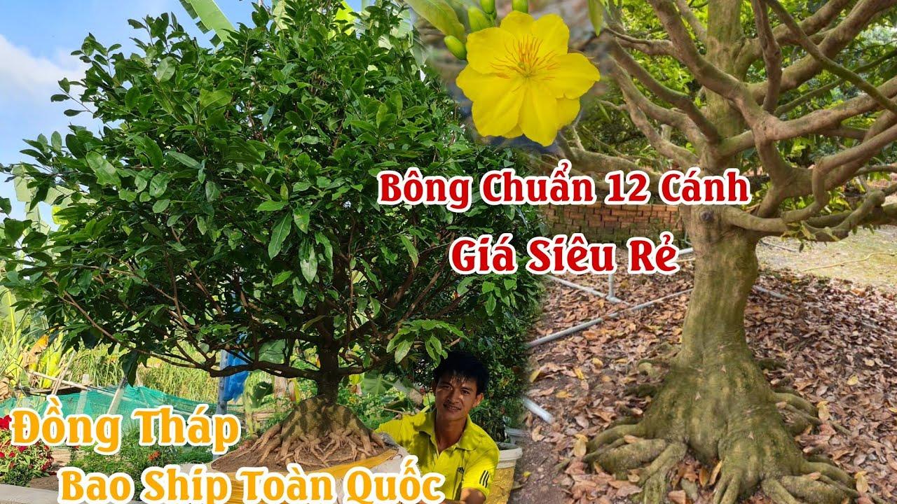 Mai ĐẾ CỌP 1 cốt tàng thông giá siêu rẻ ở Lai Vung