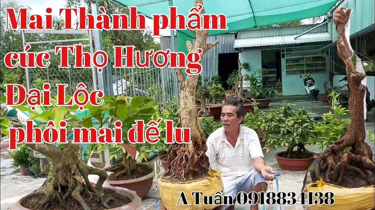 Mai Thành phẩm Cúc Thọ Hương ,Bonsai Đại Lộc, phôi mai gặp A Tuấn 0918834138.