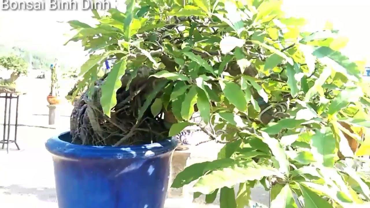 Một cây linh sam mini độc, xem những cây mini đẹp - Bonsai Binh Dinh