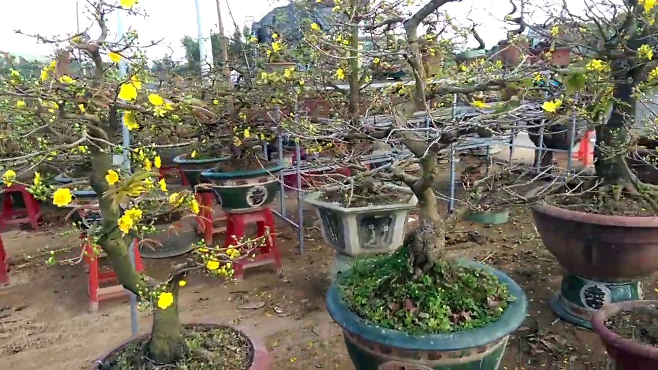 Những cây mai tết tuyệt  vời - Bonsai Binh Dinh