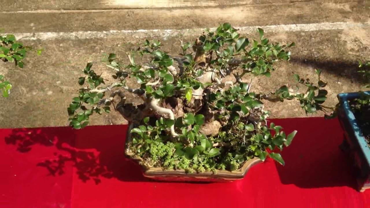 Những cây mini đẹp   Bonsai Binh Dinh