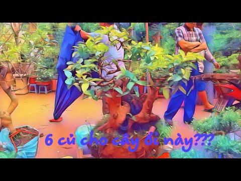 ỔI KHỦNG 6 TRIỆU BÁO GIÁ RIÊNG - TO MÊ QUÁ KHÔNG THÌ CŨNG QUẤT RỒI - GUAVA TREE BONSAI