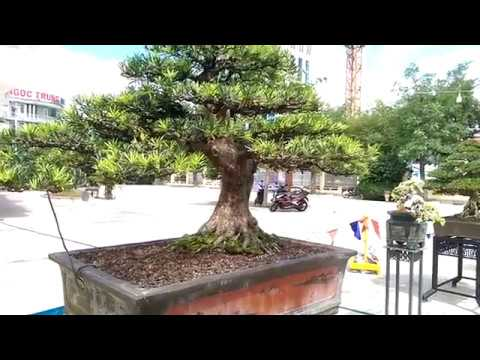 Old Bonsai Tree, Cây Tùng Cổ-Bonsai Binh Dinh