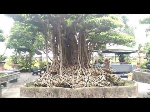 Old Bonsai tree, những cây tiền tỷ một thời - Bonsai Binh Dinh